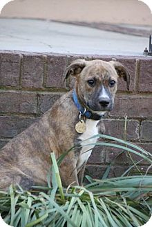 Hound (Unknown Type) Mix Puppy for adoption in Chattanooga, Tennessee - Trooper