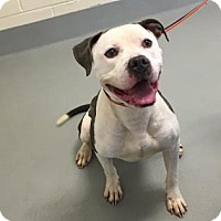 American Pit Bull Terrier/Mixed Breed (Medium) Mix Dog for adoption in Cumming, Georgia - Cain 84-17