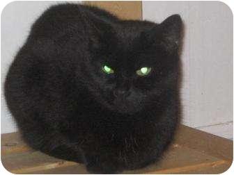 Domestic Shorthair Cat for adoption in Orillia, Ontario - Cassidy