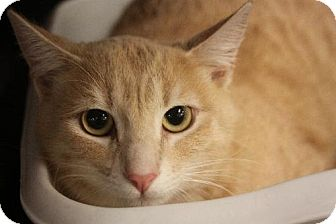 Domestic Shorthair Cat for adoption in Chino, California - Miguel / Mikey