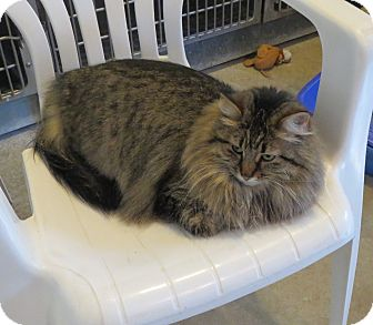 Domestic Longhair Cat for adoption in Geneseo, Illinois - Fresno