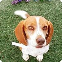 Adopt A Pet :: Paprika - Phoenix, AZ