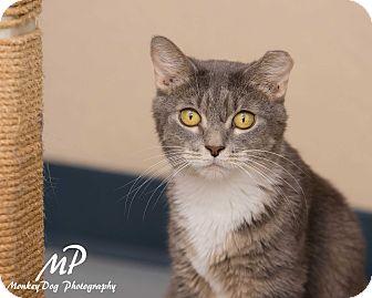 Domestic Shorthair Cat for adoption in Fountain Hills, Arizona - Sunny