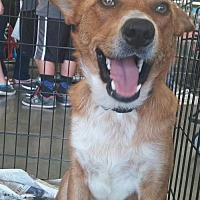 Australian Cattle Dog Mix Dog for adoption in Fresno, California - Nick