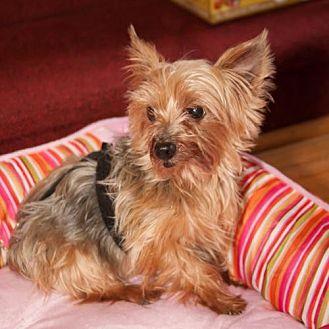 Yorkie, Yorkshire Terrier Dog for adoption in Elizabethtown, Pennsylvania - Cutie Patootie