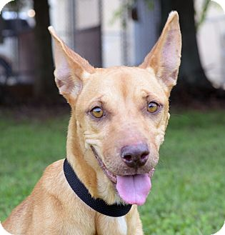 Terrier (Unknown Type, Medium)/Pit Bull Terrier Mix Dog for adoption in LAFAYETTE, Louisiana - GOLDY