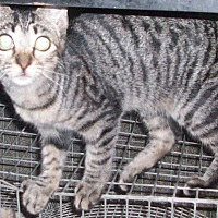 Domestic Shorthair Kitten for adoption in Morriston, Florida - BEAMER