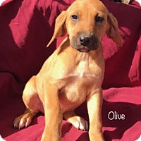 Adopt A Pet :: Olive-pending adoption - Manchester, CT