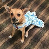 Pomeranian/Chihuahua Mix Dog for adoption in Encino, California - Bubbles