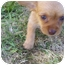 Photo 1 - Dachshund/Chihuahua Mix Puppy for adoption in Bakersfield, California - Chrissy