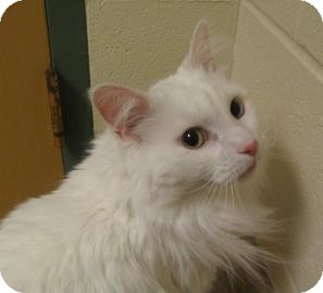 Domestic Longhair Cat for adoption in Jackson, Michigan - Merlin