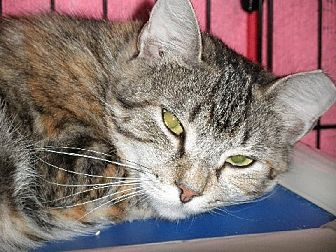 Domestic Shorthair Cat for adoption in Middletown, Connecticut - Nibs