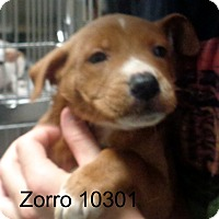 Adopt A Pet :: Zorro - Greencastle, NC