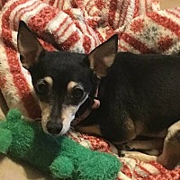 Rat Terrier Dog for adoption in Nixa, Missouri - Elsie Lou 778