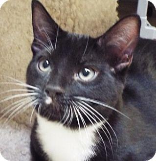 Domestic Shorthair Kitten for adoption in Grants Pass, Oregon - Gunner