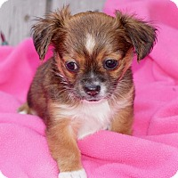 Adopt A Pet :: Cocoa - La Habra Heights, CA