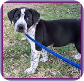 Labrador Retriever/Hound (Unknown Type) Mix Puppy for adoption in Windham, New Hampshire - Pepper (In New England)
