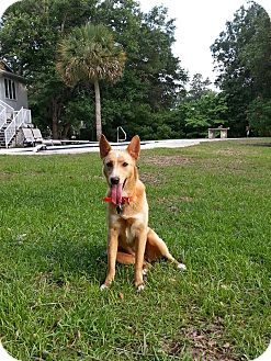 Carolina Dog Mix Dog for adoption in Cranston, Rhode Island - Lacey (located in SC)