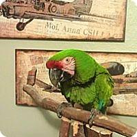 Adopt A Pet :: Goliath - Redlands, CA