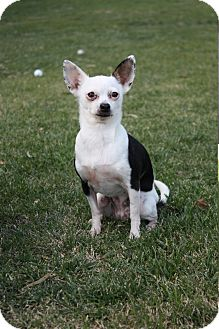 Chihuahua Mix Dog for adoption in Winters, California - Lily