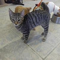 Adopt A Pet :: AMAYA! - Owenboro, KY