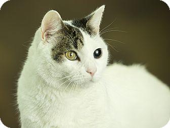 Domestic Shorthair Cat for adoption in Anchorage, Alaska - Ben