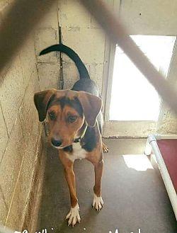 Labrador Retriever Mix Dog for adoption in Staunton, Virginia - Davie