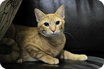 Domestic Mediumhair Cat for adoption in Boston, Massachusetts - Clarence