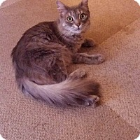 Domestic Longhair Cat for adoption in Middlebury, Connecticut - Elsa