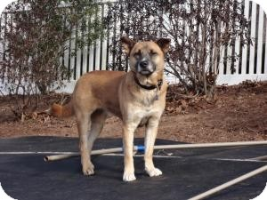 Akita Mix Dog for adoption in Manchester, Connecticut - Callie in Ct