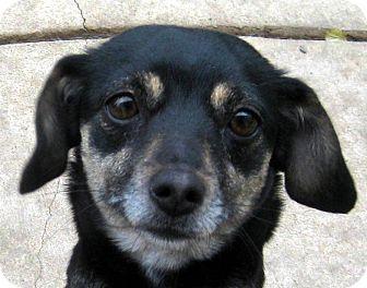 Dachshund/Miniature Pinscher Mix Dog for adoption in Oakley, California - Ellie May