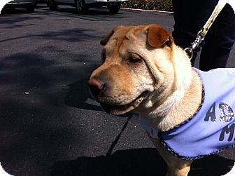 Shar Pei Puppy for adoption in Mira Loma, California - Cookie