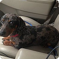 Adopt A Pet :: Cappuccino - Hazard, KY