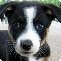 Adopt A Pet :: Baby Colby - Oakley, CA