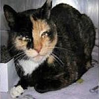Domestic Shorthair Cat for adoption in Morgan Hill, California - Barn Cats