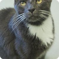 Domestic Shorthair Cat for adoption in Duluth, Georgia - Freddy