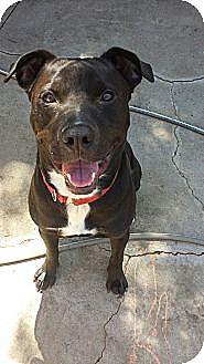 Labrador Retriever/Pit Bull Terrier Mix Dog for adoption in Los Angeles, California - Hudson