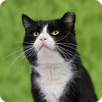 Domestic Shorthair Cat for adoption in Houston, Texas - Wendell