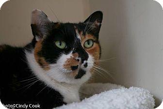 Calico Cat for adoption in Ann Arbor, Michigan - Augusta