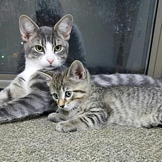 Domestic Shorthair Cat for adoption in Mt. Vernon, New York - Mom and her Teens!