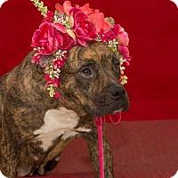 Adopt A Pet :: Bella - Flint, MI
