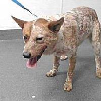 Adopt A Pet :: Bullet - Beverly Hills, CA