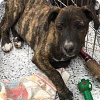 Boxer Mix Puppy for adoption in Tucson, Arizona - Luisa