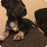 Adopt A Pet :: Marie - Bandera, TX