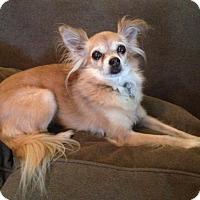 Adopt A Pet :: Ellie - Studio City, CA