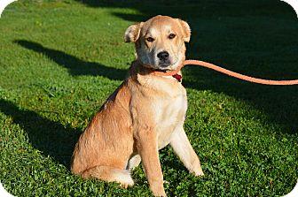 Labrador Retriever/Retriever (Unknown Type) Mix Puppy for adoption in Sparta, New Jersey - Precious