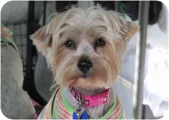Yorkie, Yorkshire Terrier/Maltese Mix Dog for adoption in West Palm Beach, Florida - Cleo