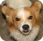 Sheltie, Shetland Sheepdog/Pomeranian Mix Dog for adoption in Simi Valley, California - Cooper