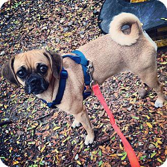 Pug/Beagle Mix Dog for adoption in New York, New York - Wednesday