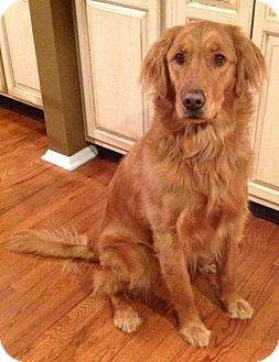 Golden Retriever Dog for adoption in New Canaan, Connecticut - Maya